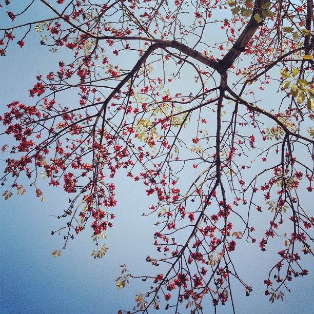 #spring in #hongkong - #red #flowers bloom on #tree #branches against the blue #sky