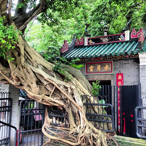 The #tree and the #temple. #apleichau #hongkong #hk #hkig