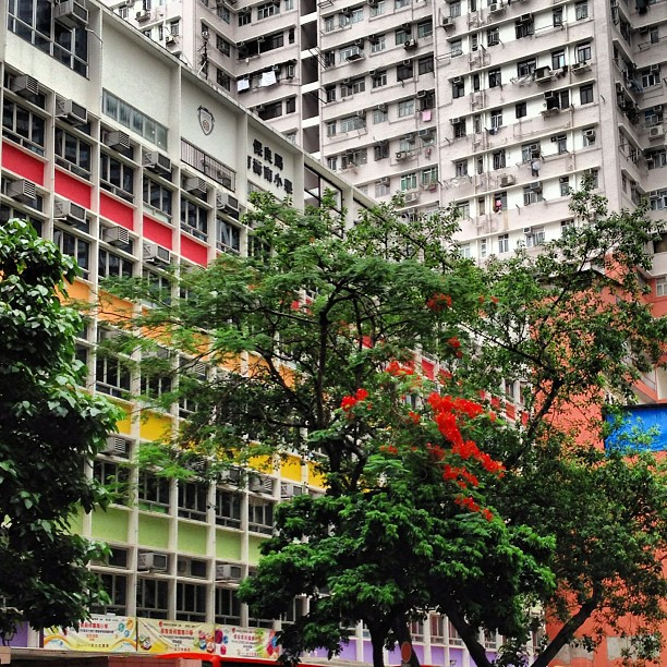 Slice of #life - #flowering #trees and a colorful #building. #hongkong #hk #hkig