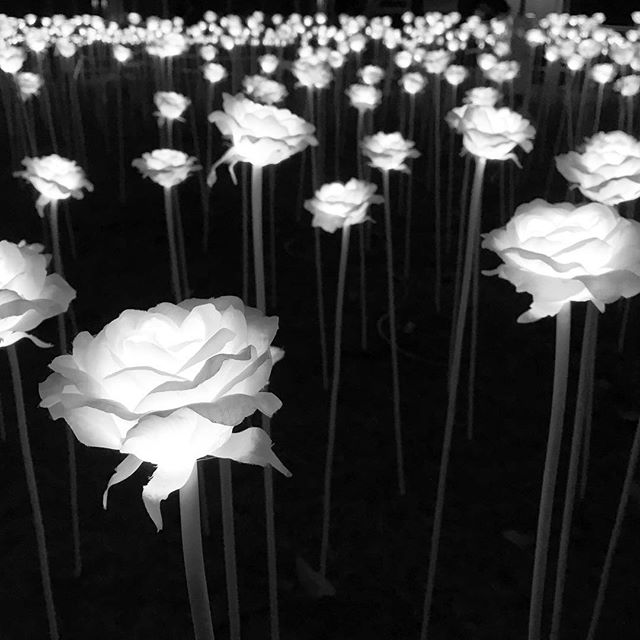 #LightRoseGarden - #LED #roses at #TamarPark in #Admiralty for the #LanternFestival. #mono #HongKong #hk #hkig