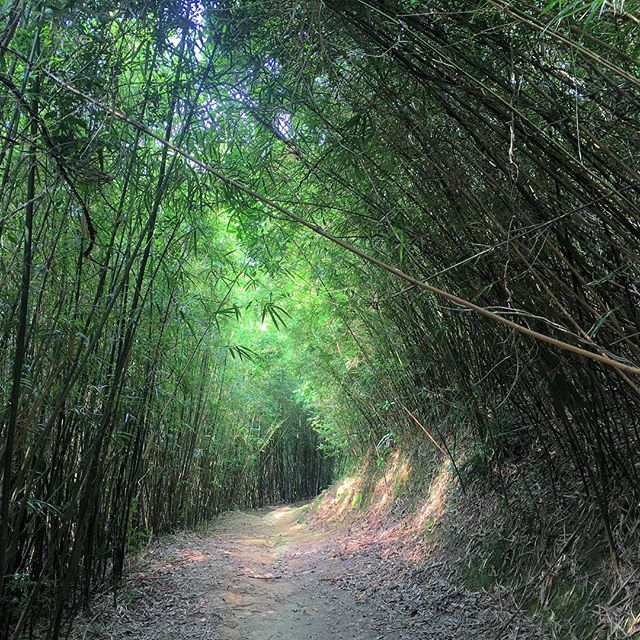 #hiking thru #bamboo groves along the #YuenTsuenAncientTrail in #HongKong. #hk #hkig